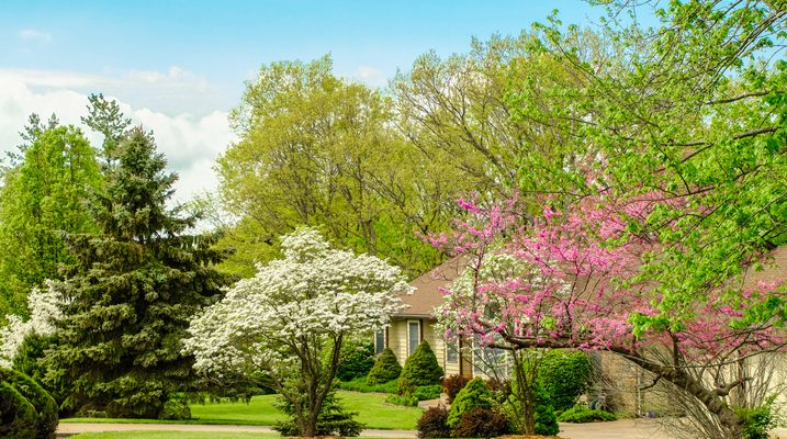 View of Midwestern front yard in spring; blooming trees in foreground; ranch style house behind trees; blue sky in background
